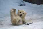 "This baby polar bear says, ""Charlie and Kirsten fans, rejoice!"""